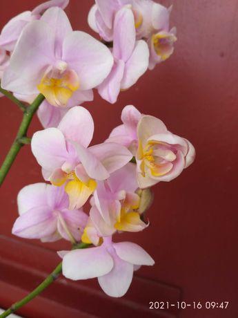 Орхидея мультифлора орхидеи