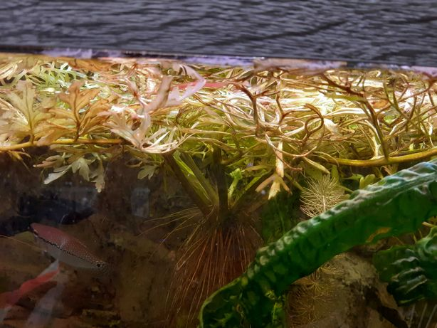 Rożdżyca-paprotka akwariowa