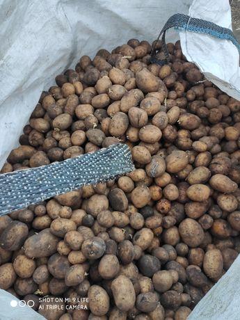 Sprzedam ziemniaki cena 100 zł za 2 tony