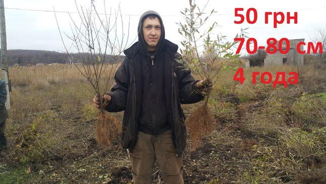 Бирючина 4х летний саженец Н=1 метр(4 куста на 1 метр) ПИТОМНИК !!!
