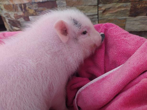 Mini Pigs*quintinha da leziria