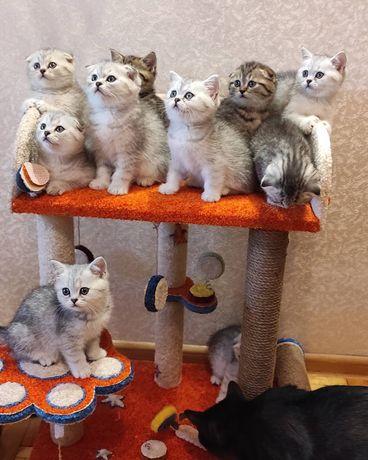 Котята от шотландских родителей