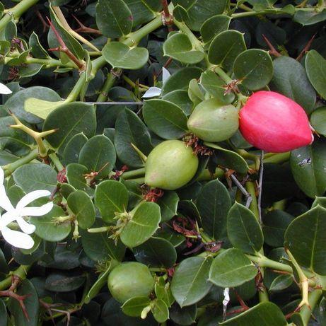 Planta de carissa macrocarpa ameixa Natal
