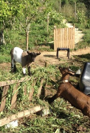 4 Cabras Anãs: 2 mães e 2 crias