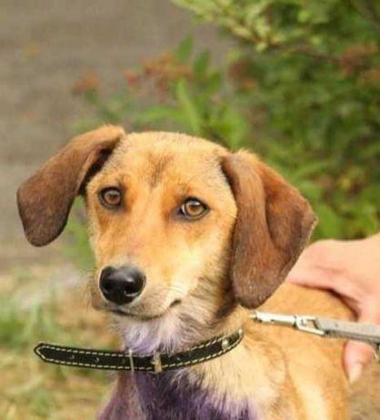 Собака Лада, стерилизованная такса, послушная, спокойная