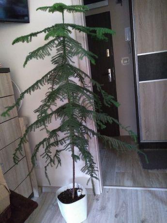 Araukaria - roślina iglasta