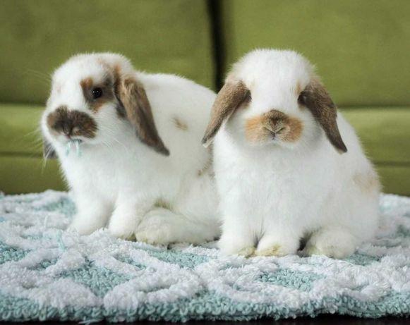 Coelhos anões mini Lop(orelhudos) belier lindíssimos e muito dóceis