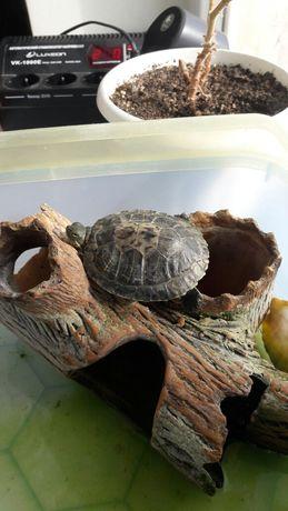 Черепаха красноухая водяная