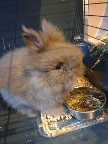 Króliczek Teddy Miniaturka królik karzełek klatka dla królika