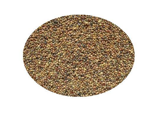 Koniczyna biała nasiona