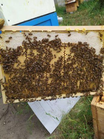Odkłady pszczele pszczoły rodziny pszczele dadant
