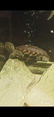 Żółw chiński [Chinemys reevesii] wodnolądowy