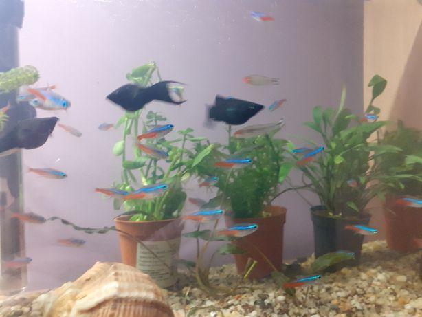 Neon Inessa Glonojady Ryby akwariowe Akwarystyka