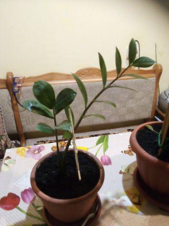 Замиокулькас с новым росточком