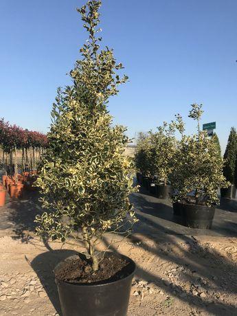 Ostrokrzew / Ilex Aquifolium Silver Queen / Zimozielone