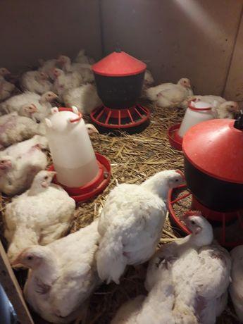Świeży kurczak wiejski brojler