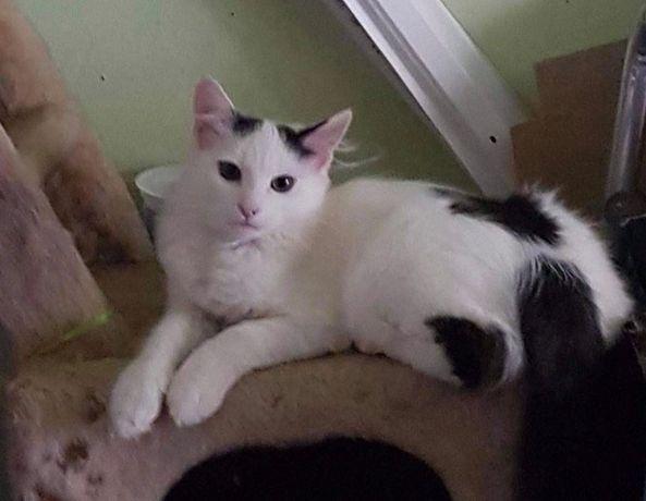 Długowłosy kotek szuka domu