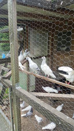 gołębie jasne srebniaki