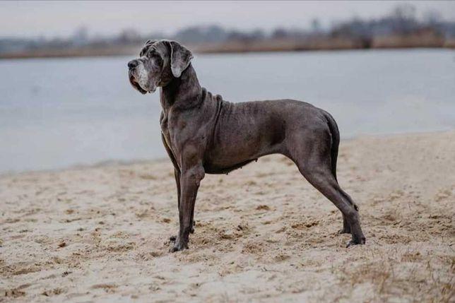 Dog niemiecki FCI/ZKwP