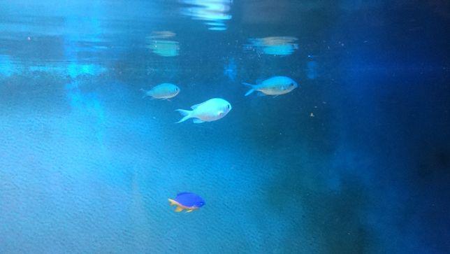 Chromis viridis akwarium morskie