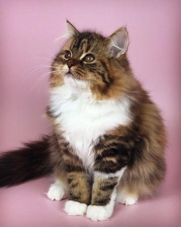 Шотландский длиношерстный котенок красивая девочка.