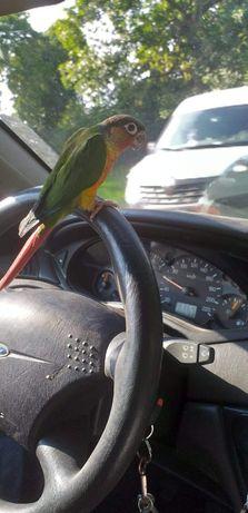 Papugi ręcznie karmione