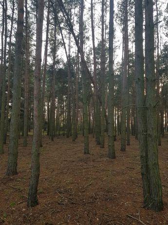 Las sosnowy 1,19 hektar