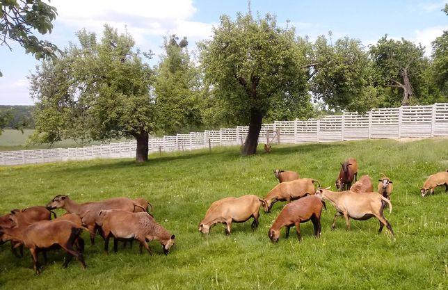 Zamienię na baranki/sprzedam owce kameruńskie\barbados