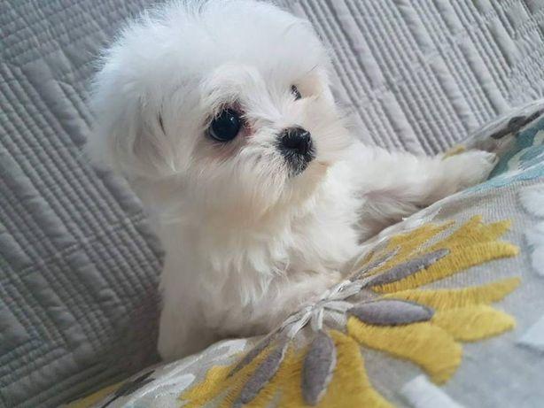 Piesek Maltańczyk Miniatureczka z Rodowodem.