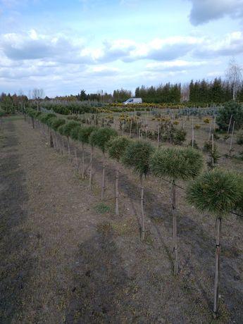 Sosna, sosna szczepiona na pniu, Pinus 'Jane Kluis '