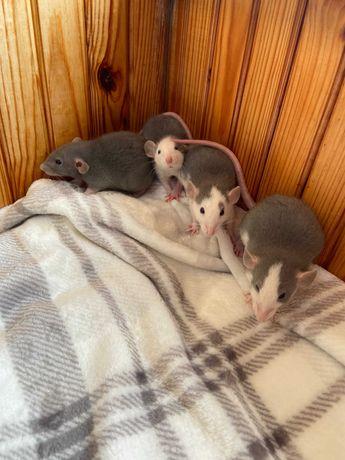 Крысята Дамбо ручные