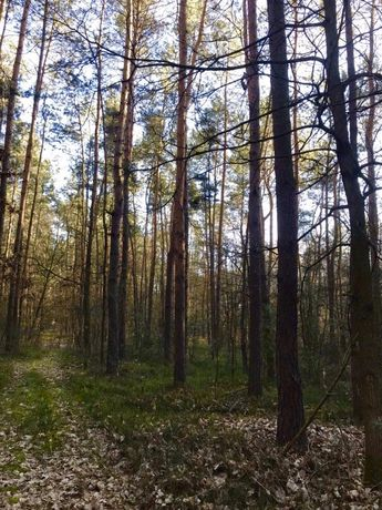 Działka leśna/ las sosnowy