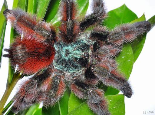 Ptasznik Wielobarwny Caribena Versicolor L3/L4