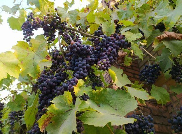 Винный виноград Тысячник, Кудерка, Изабелла, Лидия, Гаяр