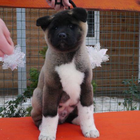 Американская Акита щенок мальчик.