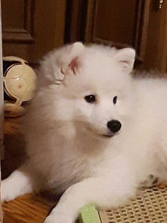 Продам щенка японского шпица