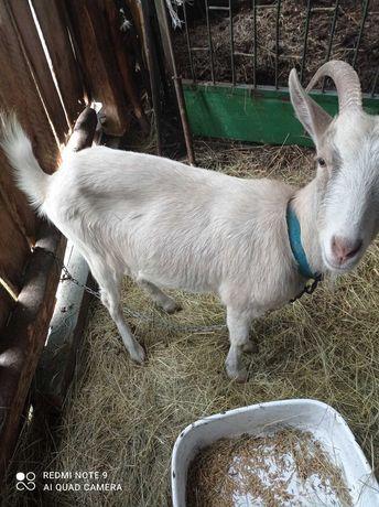 Sprzedam kozę z rogami