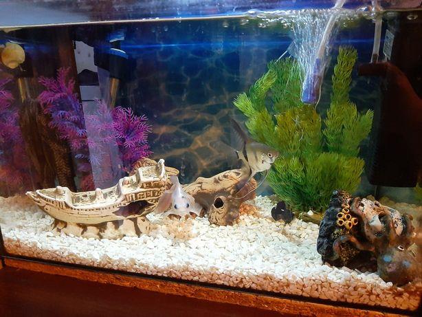 Kompletne akwarium duże rybki glonojad skalar