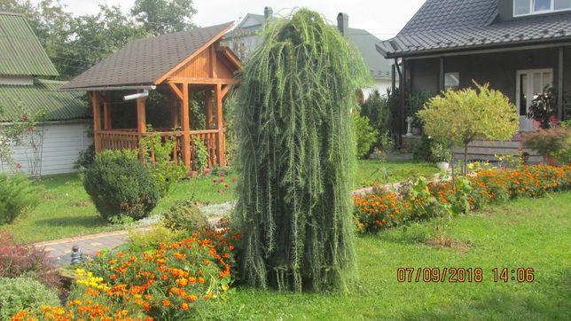 плакуча модрина( лиственница)