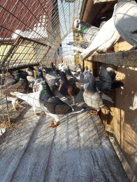 Gołębie pocztowe kolorowe różnej barwy Oporów - image 1