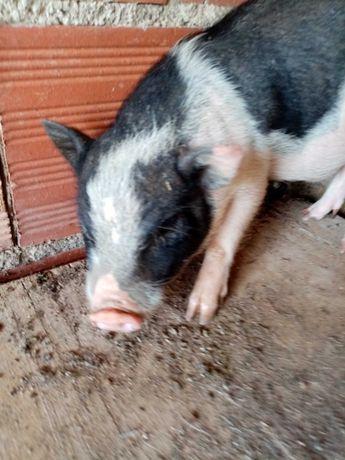 Vendo Mini pigs / porcos vietnamitas macho