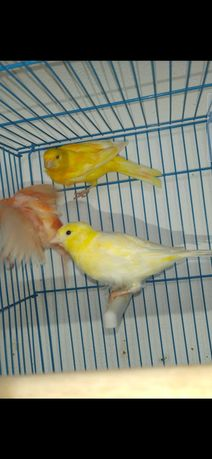 Casal de canários amarelos