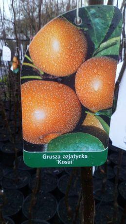 Grusza Azjatycka/Japońska