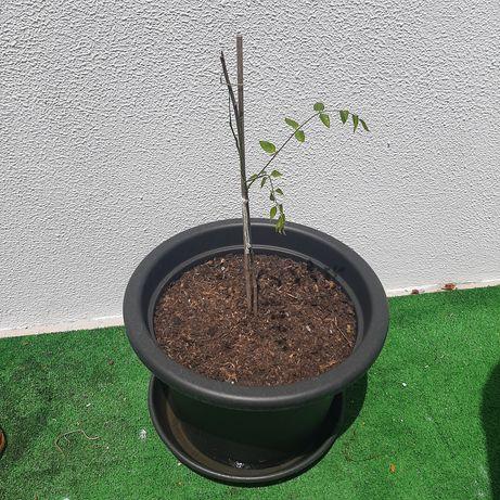 Planta flor glicínias