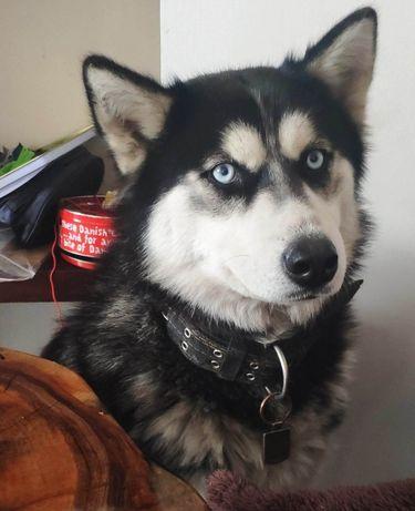 Zaginął pies husky, haski
