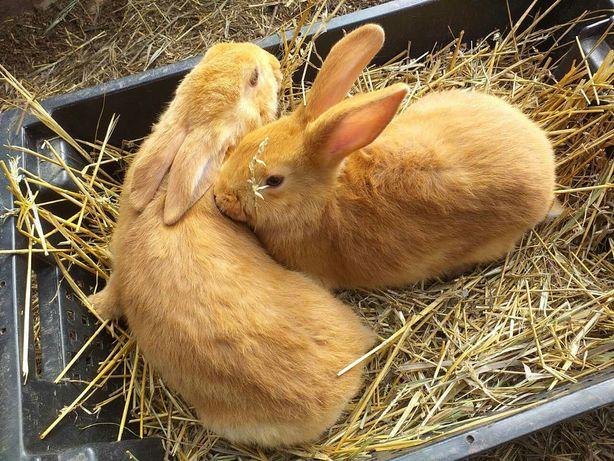 Кролики бургундские.