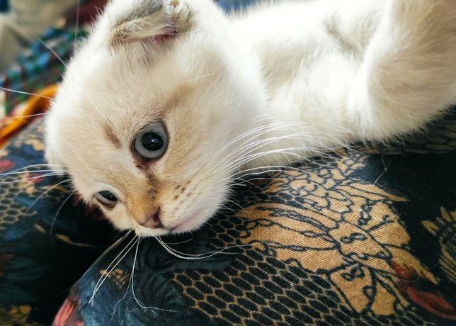 Шотландский вислоухий котенок скоттиш фолд девочка