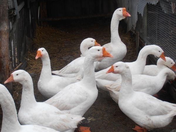 Инкубационные яйцо гусей по сезону
