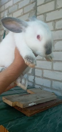 Кролики породы калифорниец
