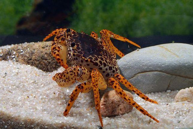 Caranguejo pantera